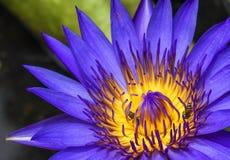 在紫色的莲花 免版税库存照片