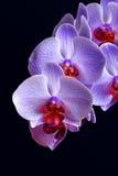 在黑色的蓝色的兰花花 库存图片