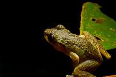 在黑色的薄雾青蛙 免版税库存照片