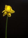 在黑色的被隔绝的黄水仙与拷贝空间 库存图片