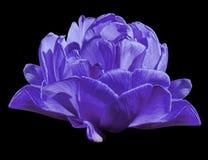 在黑色的郁金香紫色花隔绝了与裁减路线的背景 特写镜头 没有影子 库存图片