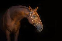 在黑色的马画象 免版税库存图片