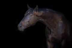 在黑色的马画象 图库摄影