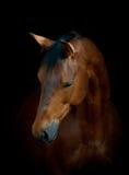 在黑色的马 免版税库存照片