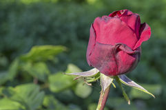 在绿色的绯红色玫瑰花蕾 免版税图库摄影