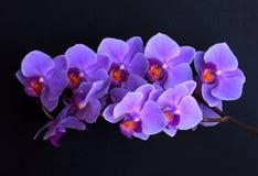 在黑色的紫罗兰色兰花花 图库摄影