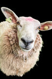 在黑色的绵羊 免版税库存照片