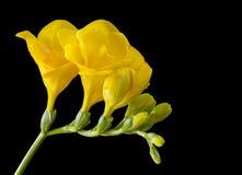 在黑色的黄色小苍兰 免版税库存图片