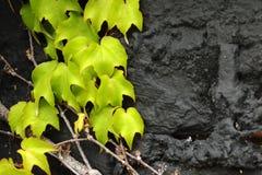 在黑色的绿色常春藤与空间 库存图片