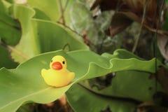 在绿色的黄色橡胶鸭子在公园离开 免版税库存图片
