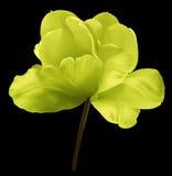 在黑色的黄色花郁金香隔绝了与裁减路线的背景 特写镜头 没有影子 色的白色射击 免版税库存图片