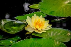 在绿色的黄色荷花在水中离开 免版税库存图片