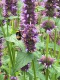 在紫色的黄色蜂 免版税库存图片