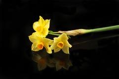 在黑色的黄色水仙花 库存照片