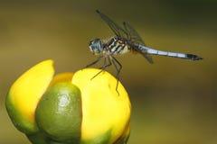 在黄色睡莲的男性蓝色Dasher 免版税库存图片