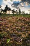 在紫色石南花草甸的夏天风景在日落期间的 免版税图库摄影