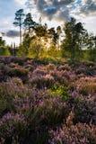 在紫色石南花草甸的夏天风景在日落期间的 免版税库存照片