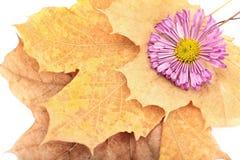 在黄色秋叶的紫色菊花 免版税库存图片