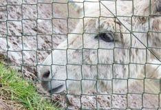 在绿色篱芭后的驴 库存图片