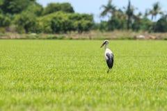 在绿色米的长的腿鸟在泰国调遣 库存照片