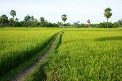 在绿色米领域和棕榈树的道路 免版税库存照片