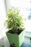 在绿色罐的榕属花 免版税库存图片