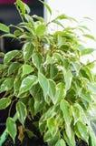 在绿色罐的榕属花 库存照片
