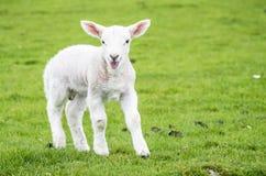 在绿色美好的苏格兰领域的逗人喜爱的小的羊羔住宅 免版税库存图片