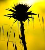 在黄色背景、燕麦和乳蓟由后照的野生植物 库存图片