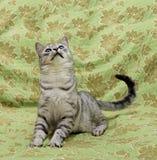 在绿色背景中演奏猫 免版税库存图片