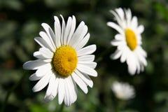 在绿色背景关闭的两朵春黄菊花 图库摄影