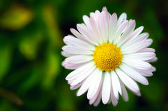 在绿色背景宏指令的唯一雏菊花 免版税库存图片