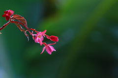 在绿色背景热带花的桃红色 库存照片