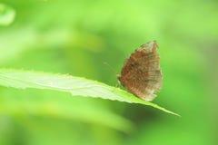 在绿色背景的一只草甸布朗(Maniola jurtina)蝴蝶 库存照片