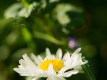在绿色背景的一朵雏菊花 在大丁草或雏菊的领域的一朵领域雏菊 免版税库存图片