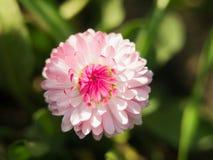 在绿色背景的一朵雏菊花 在大丁草或雏菊美丽的桃红色花的领域的一朵领域雏菊在的 免版税库存图片