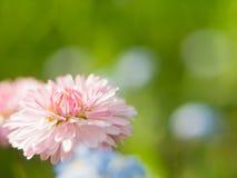 在绿色背景的一朵雏菊花 在大丁草或雏菊美丽的桃红色花的领域的一朵领域雏菊在的 免版税图库摄影