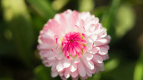 在绿色背景的一朵雏菊花 在大丁草或雏菊美丽的桃红色花的领域的一朵领域雏菊在的 库存照片