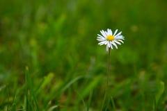 在绿色背景的一朵雏菊花 库存图片