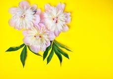 在黄色背景的三朵桃红色牡丹花 库存图片