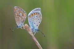 在绿色背景的两只蝴蝶 库存照片