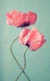 在绿色背景的两朵桃红色鸦片花 库存图片