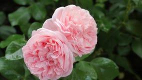 在绿色背景的两朵浅粉红色的玫瑰 库存图片