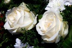在绿色背景的两朵白玫瑰 免版税图库摄影