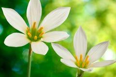 在绿色背景的两朵美丽的花 免版税库存照片