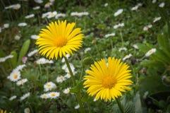 在绿色背景的两朵黄色雏菊花与戴西 免版税库存照片