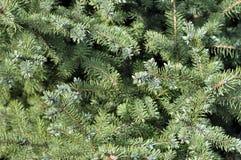 在绿色背景的云杉的分支 蓝色云杉,绿色 库存照片