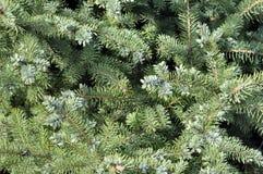 在绿色背景的云杉的分支 蓝色云杉,绿色spr 免版税图库摄影