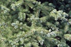 在绿色背景的云杉的分支 蓝色云杉,绿色spr 免版税库存图片