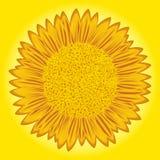 在黄色背景的向日葵 免版税库存照片